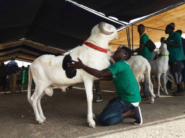 """Le mouton dénommé """" VOLCAN"""" remporte le concours de la 17e édition de la foire de Saint-Louis"""