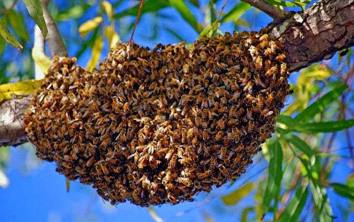 Saint-Louis : un essaim d'abeilles tue un chauffeur de la JICA.