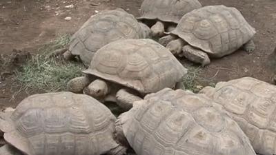 CRIMINALITE FAUNIQUE AU SENEGAL : 5 trafiquants arrêtés en possession de 213 tortues vivantes