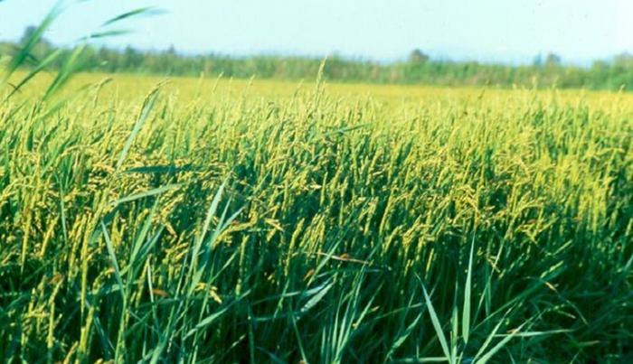 Gouvernance de la filière riz : Les bons points du projet Veco dans l'Anambé et à Podor