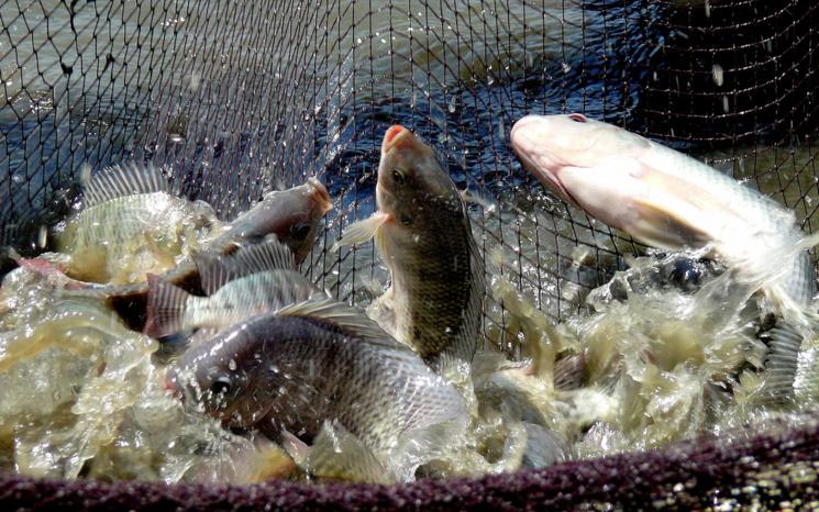 Saint-Louis : 30 producteurs à l'école des technologies de production d'alevins mâles de tilapia