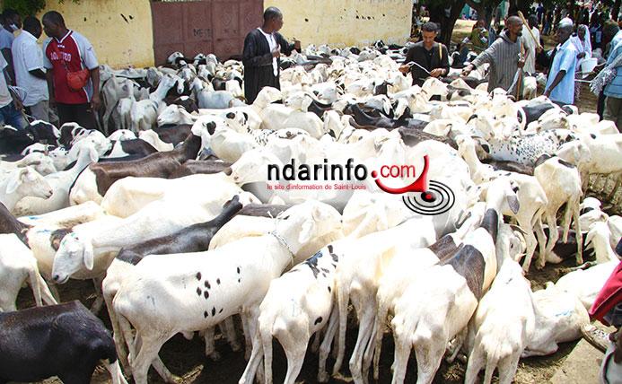 TABASKI : plus de 55.000 moutons attendus à Saint-Louis