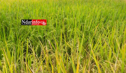 Gros importateur de riz, le Sénégal bientôt exportateur