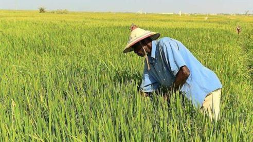 RIZ : la production peut passer de 455 mille tonnes a 875 mille tonnes d'ici 2020 (SAED)