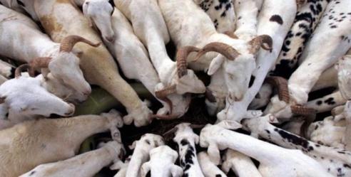 Tabaski 2018 : Risque de hausse des prix du mouton