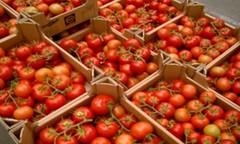 AGRICULTURE-TOMATES: Les producteurs en guerre contre l'acariose