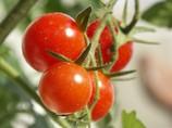 Agroline menace la filière tomate