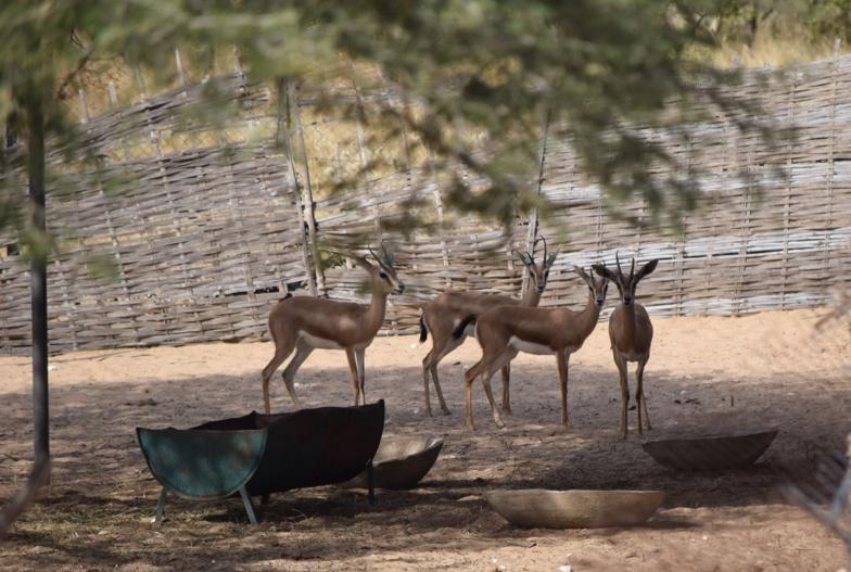 Les gazelles dorcas