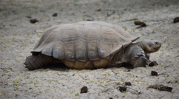 Les tortues géantes terrestres