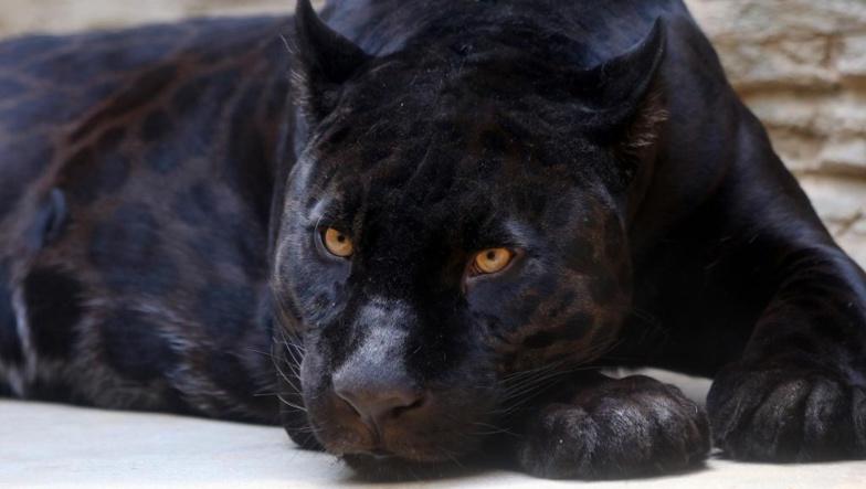 Un léopard noir d'Afrique a été pris en photo, une première depuis un siècle