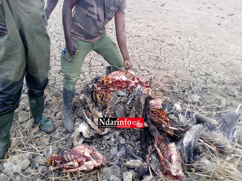 Massacre de bébés pélicans au Djoudj : des images effroyables (Photos)
