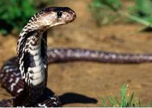 Attaqué par un serpent, Serigne Guèye meurt faute de sérum anti -venin