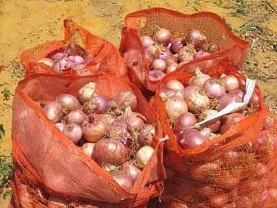Mévente de l'oignon dans l'arrondissement de Rao: D'importantes quantités pourrissent dans le Gandiolais