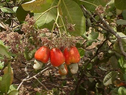 Lutte contre l'érosion et la dégradation des sols: Le recours aux plantations d'anacardiers préconisé