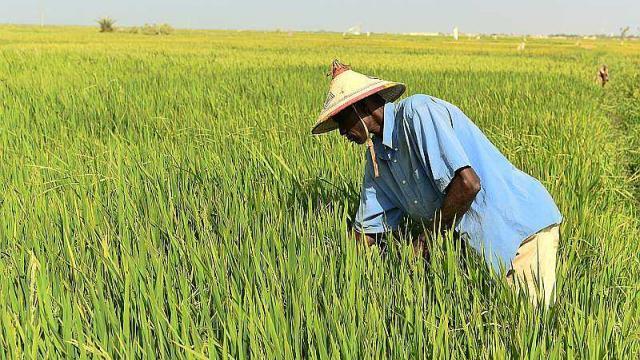 Riziculture : Réduire les engrais azotés augmente les rendements