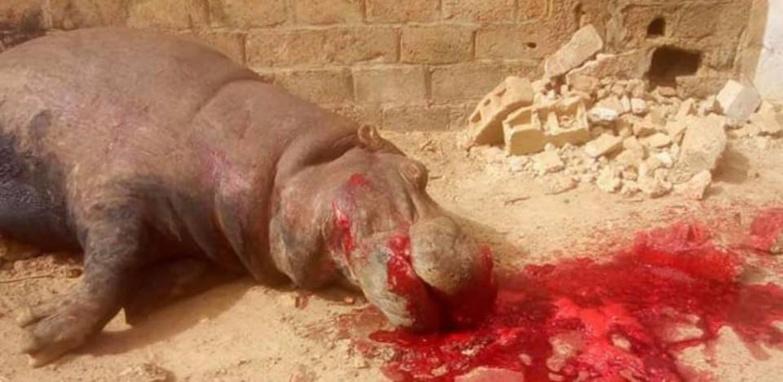 Kedougou : Entre la légalité et l'opportunité d'une décision de tuer un hippopotame ?