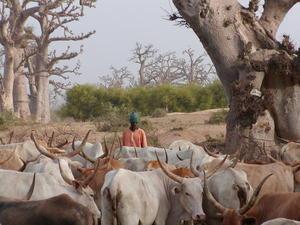 Risques d'affrontements entre éleveurs sénégalais et mauritaniens