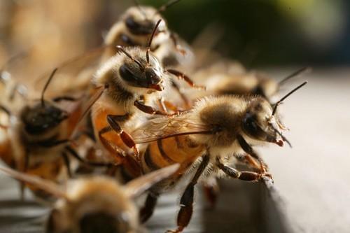 Matam: Lancement des travaux par Me Wade: Les abeilles ont failli gâcher la fête