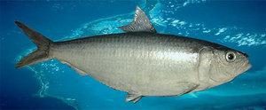 Consommation de poisson au Sénégal : Un seul Yaaboy dans le panier de la ménagère