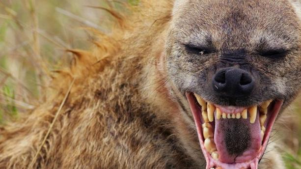 Nioro du Rip : une hyène terrorise la population