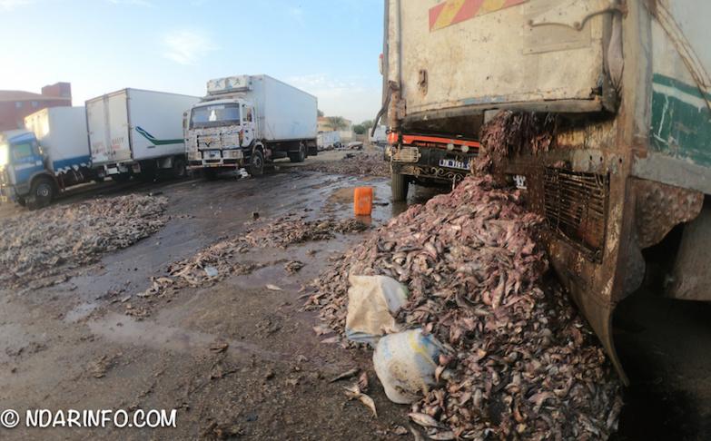 INDISCIPLINE : des milliers de poissons pourris déversés à l'entrée de Saint-Louis (photos)