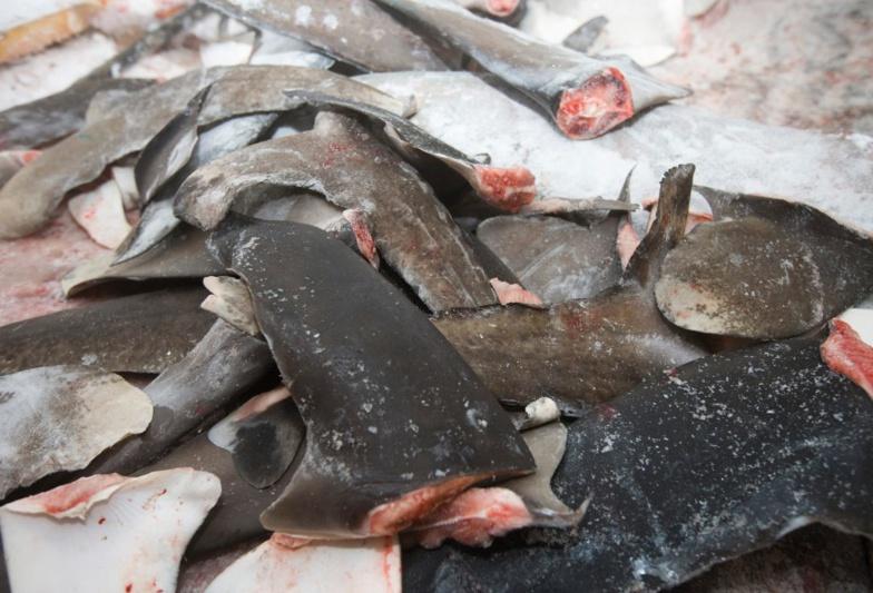 Réunion de la CICTA en Espagne : Les pays d'Afrique de l'ouest pour protéger le requin-taupe bleu, victime de la surpêche