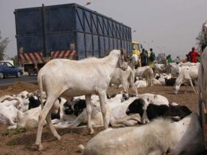 Sénégal - Hausse du prix de la viande : les effets de la crise malienne (audio)