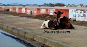 L'île de Saint-Louis envahie par des chèvres