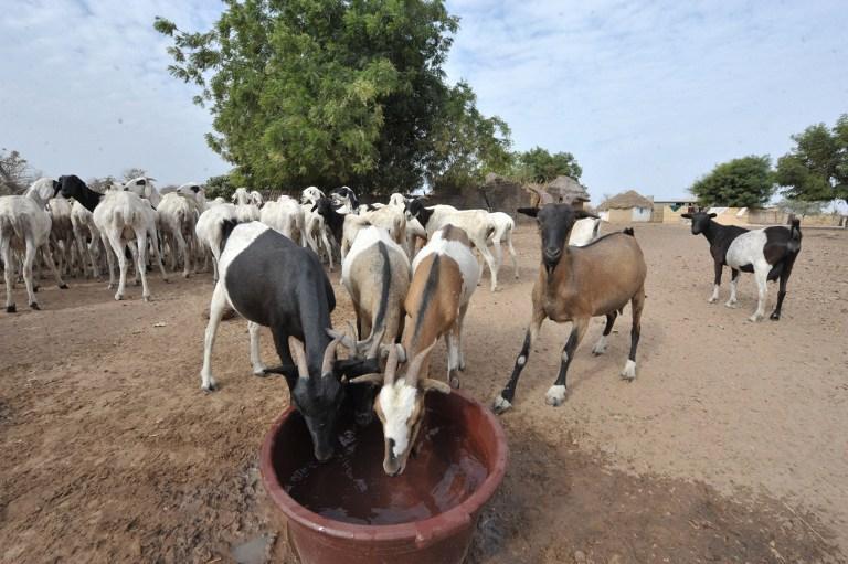 Covid-19 : lancement de la mise en place des 8471 tonnes d'aliment de bétail destinées aux éleveurs