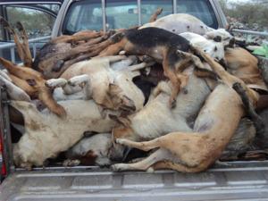 Saint-Louis : 169 chiens et 2 chats ont été abattus