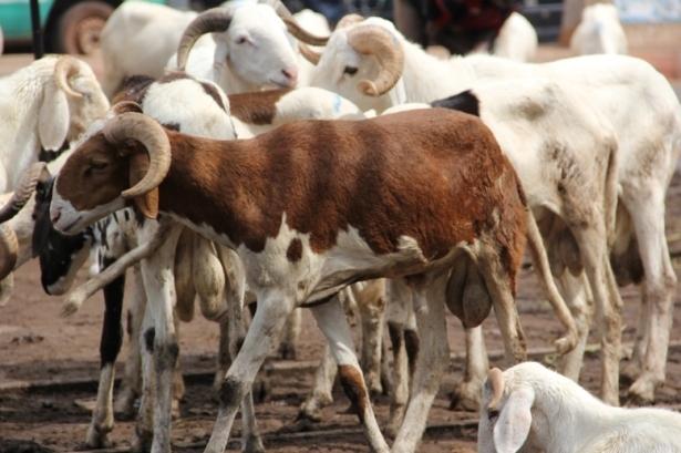 Takaski 2020 : La Mauritanie disposée à octroyer au Sénégal 450.000 moutons