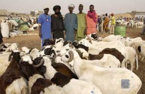Tabaski 2012: Pénurie de moutons en vue