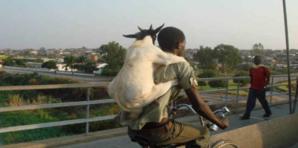 Saint-Louis - Pikine : Des voleurs ''sorciers'' dépècent les moutons et emportent la viande.