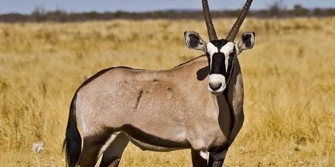 """Ruée vers les gazelles - Entre le protocole """"Kilim"""", fétichisme et affaires de gros sous"""