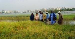 Podor: 166 ha de riz sous les eaux.(Audio)