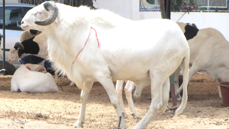Tabaski ou Aîd El Kabir : Les critères d'élligibilité des moutons.