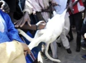 Saint-Louis:  Un mouton tombe en syncope, tiraillé entre un voleur et son propriétaire au foirail de Darou.