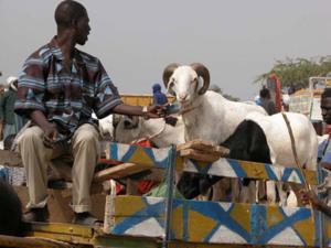 Saint-Louis - Insolite: Le mouton qui a «tabasské» son voleur