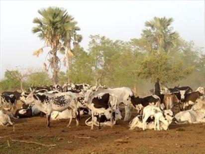 Ross Béthio : Affrontements sanglants entre eleveurs et agriculteurs.