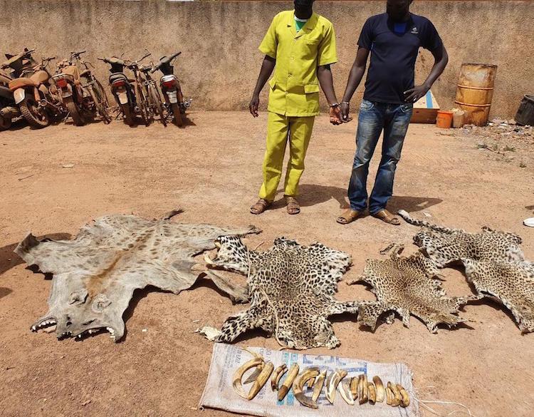 Deux personnes interpellées dans un hôtel avec des peaux de léopards, d'hyène et des ivoires