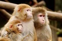 Sénégal- Une fille de trois mois découvert en brousse au milieu d'une meute de singes.