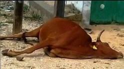 Saint-Louis: Après l'électrocution mortelle d'un talibé à Cité Niakh, la pluie tue une vache à Vauvert.