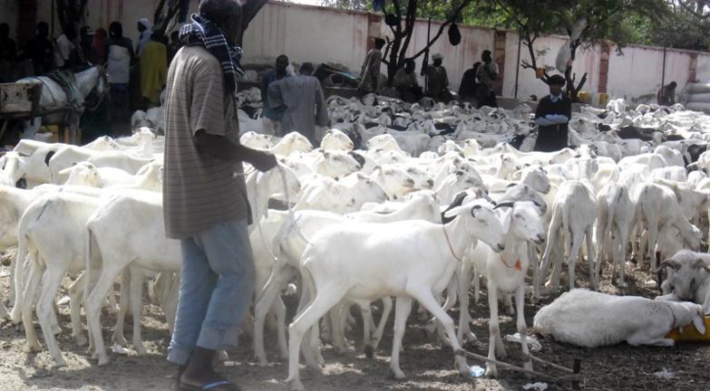 Saint-Louis comptabilise plus de moutons cette année (régional élevage)