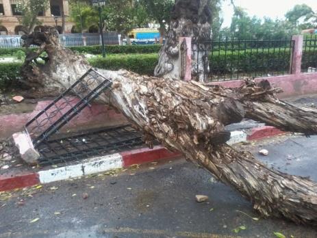 URGENT- Vent violent: Un arbre s'effondre sur la place Faidherbe. [PHOTOS]