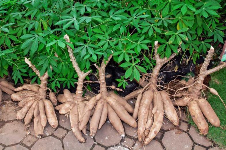 FILIÈRE MANIOC : Thiès attend une production de plus de 600.000 tonnes