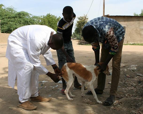Dagana : le service de l'élevage milite pour la vaccination des chiens pour éradiquer la rage dans la zone