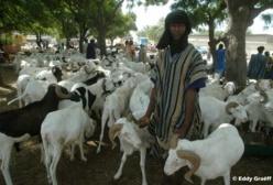 Saint-Louis - Tabaski 2013 : « On tire le mouton par la queue ».