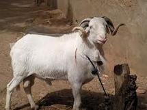 Louga: 3. 172 moutons exportés à Saint-Louis.