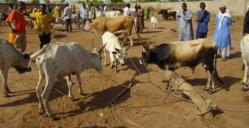 ALERTE: La maladie de la vallée du Rift fait son apparition à Saint-Louis et Dagana