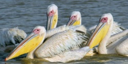 Parc des oiseaux de Djoudj : le conservateur préconise le marquage des pélicans blancs